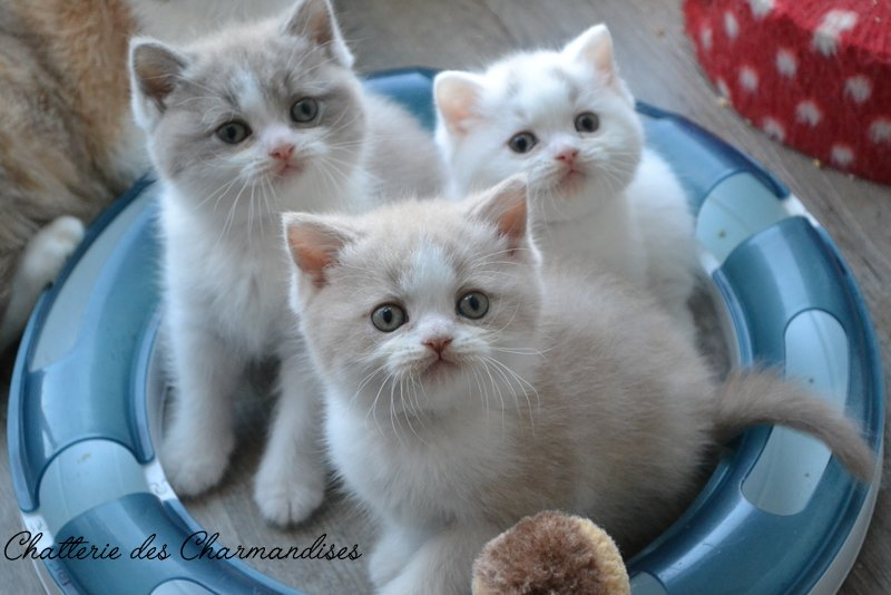CHATONS BRITISH SHORTHAIR DISPONIBLES