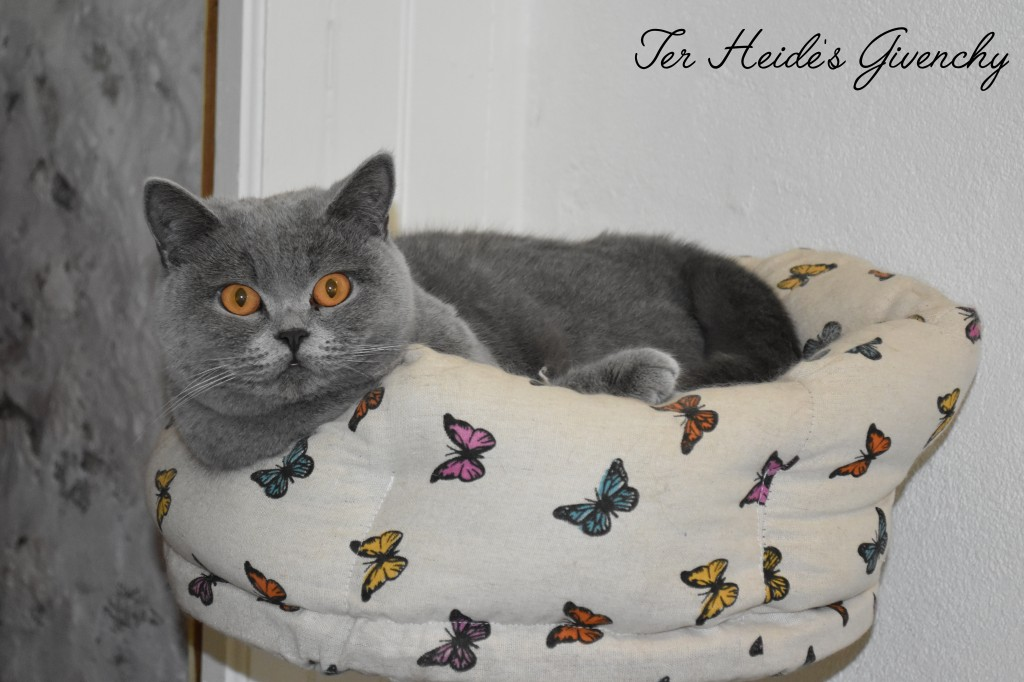 GIGI BRITISH SHORTHAIR BLEU CHARMANDISES