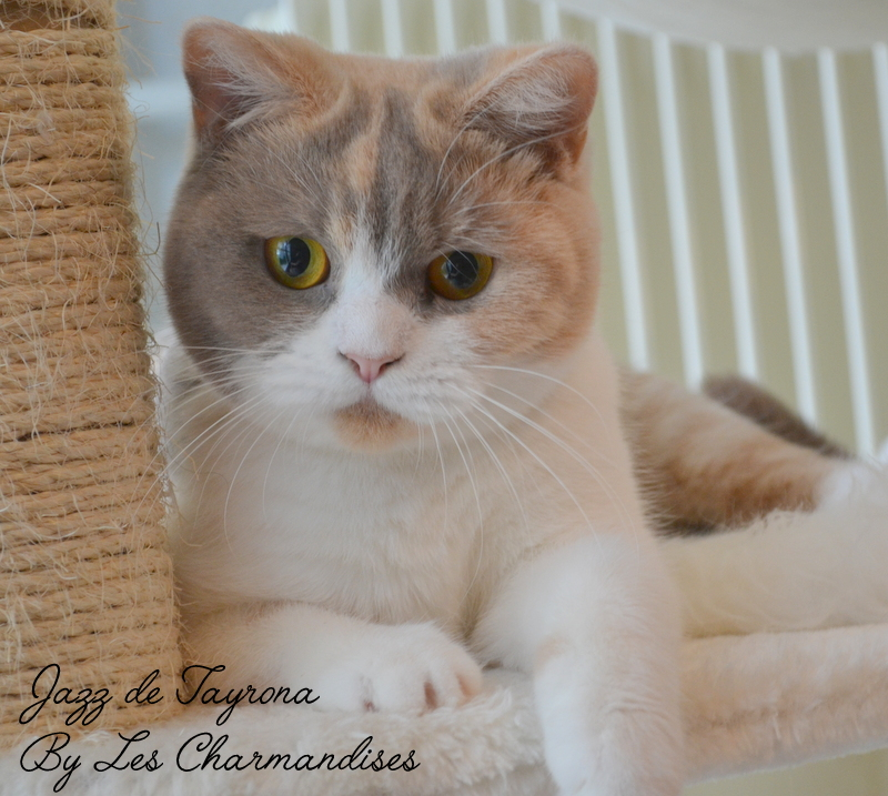 BRITISH SHORTHAIR LILAC TORTIE