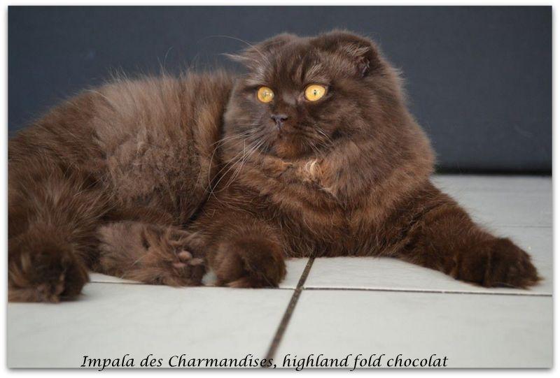 Impala, highland fold chocolat