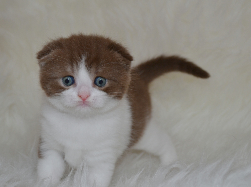 Jerico des charmandises, scottish fold chocolat & blanc, 1mois