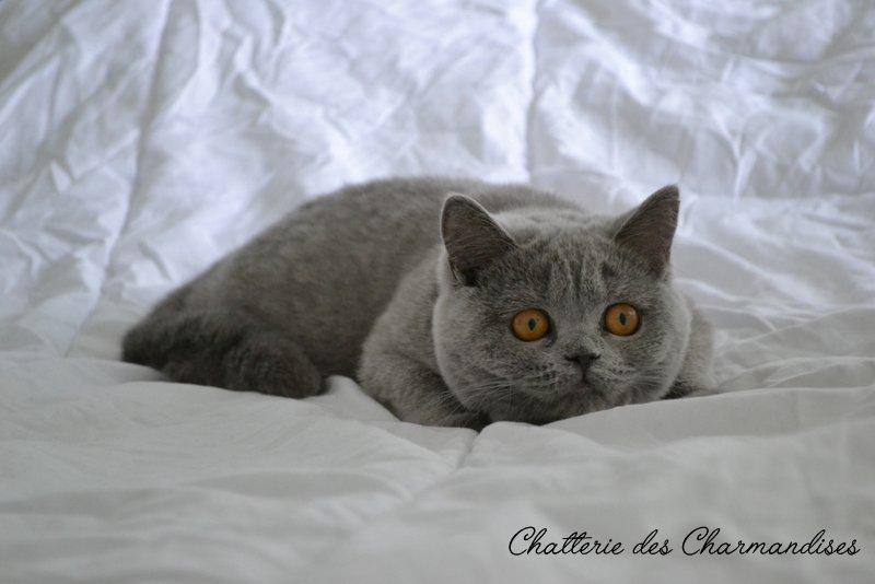 British Shorthair bleu 8 mois