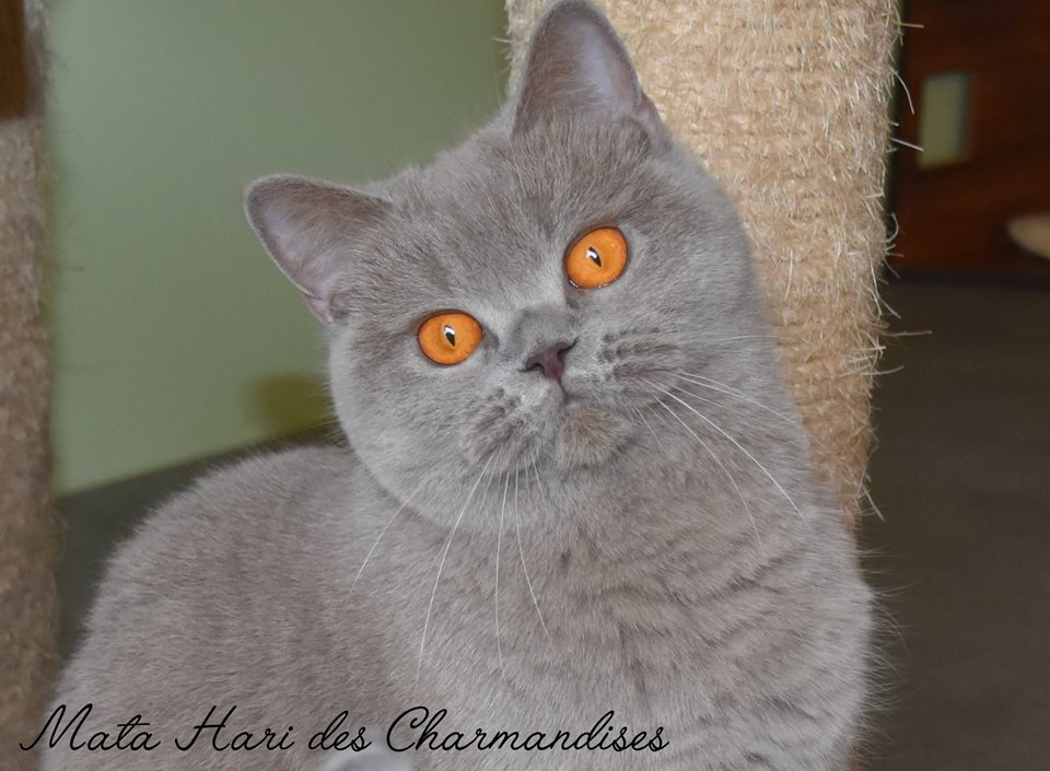 MATA CHARMANDISES, BRITISH SHORTHAIR LILAS