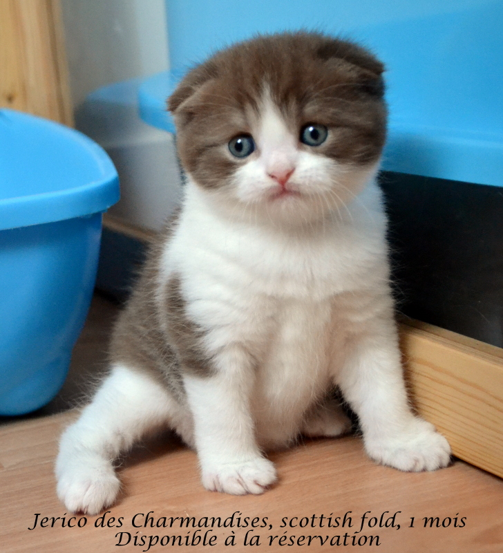 Jerico des charmandises, scottish fold chocolat & blanc