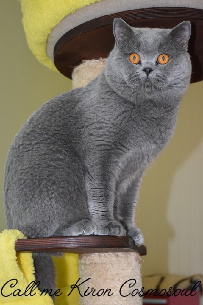 Mâle british shorthair bleu