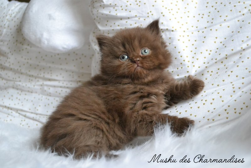 CHATON HIGHLAND STRAIGHT CHOCOLAT