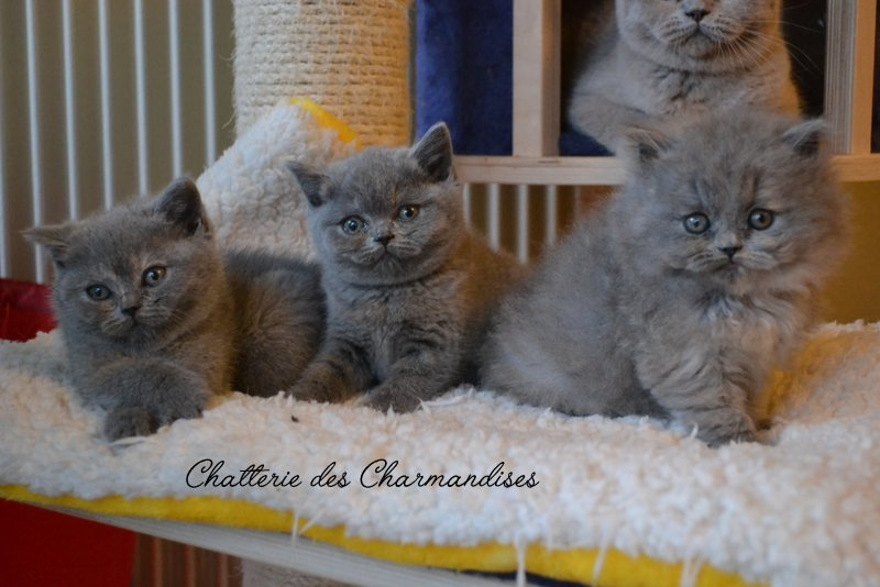 BRITISH SHORTHAIR DES CHARMANDISES