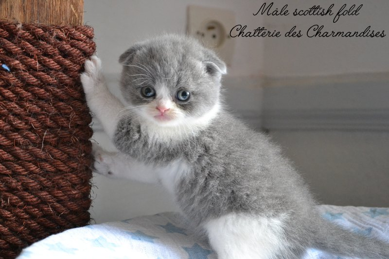 SCOTTISH FOLD BLEU ET BLANC DES CHARMANDISES