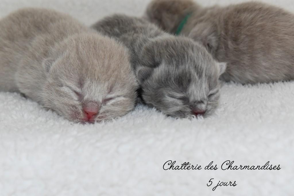 chatons british bleu et lilas