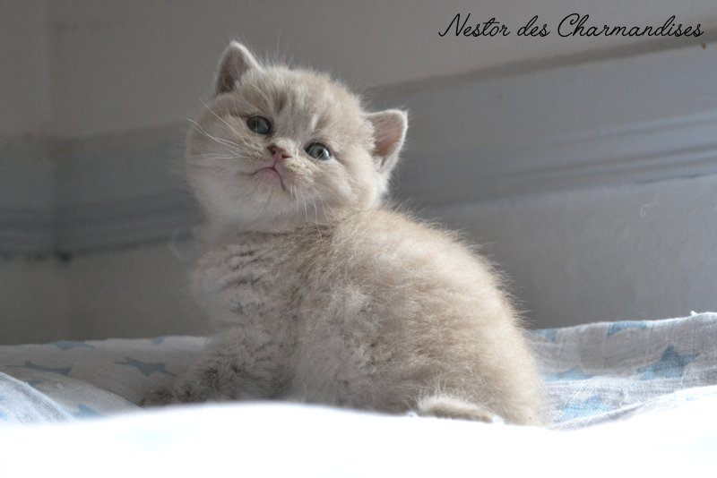 BRITISH SHORTHAIR LILAS DES CHARMANDISES